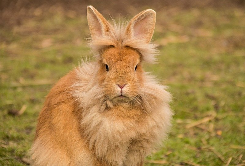 rabbit during shedding season, small pet breed lionhead