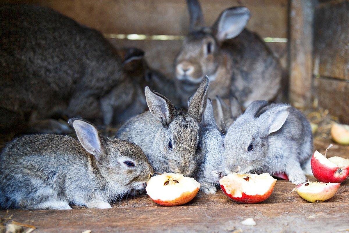 6 bunnies eating apples